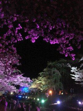 【桜・見頃】観音寺川