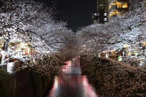 【桜・見頃】目黒川