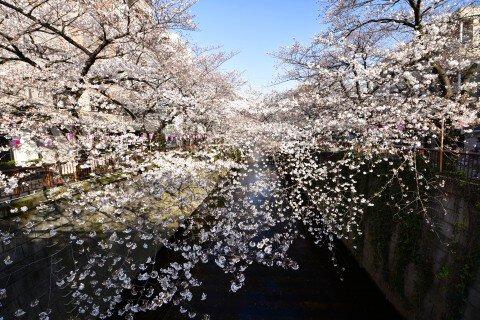 【桜・見頃】目黒川の桜名所・お花見写真