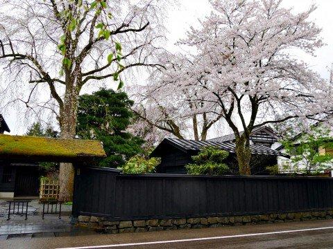 【桜・見頃】武家屋敷通りの桜名所写真