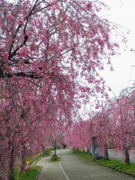 【桜・見頃】日中線記念自転車歩行者道のしだれ桜の桜名所・お花見写真