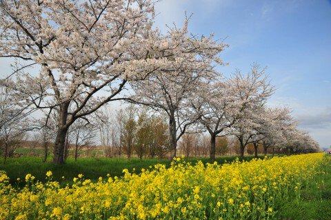 【桜・見頃】桜と菜の花ロード