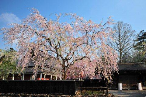 【桜・見頃】武家屋敷通りの桜名所・お花見写真