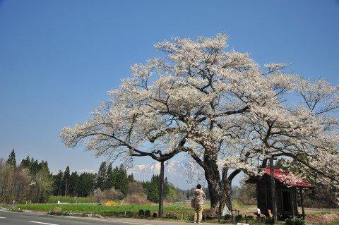 【桜・見頃】弘法桜