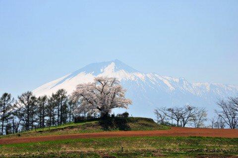 為内の一本桜の桜名所・お花見写真