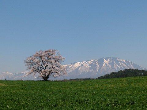 【桜・見頃】小岩井農場の桜名所・お花見写真