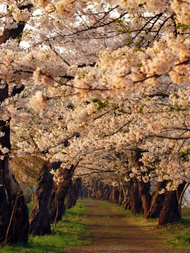 【桜・見頃】桧木内川堤の桜名所写真
