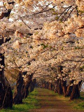 【桜・見頃】桧木内川堤の桜名所・お花見写真