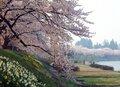 【桜・見頃】桧木内川堤