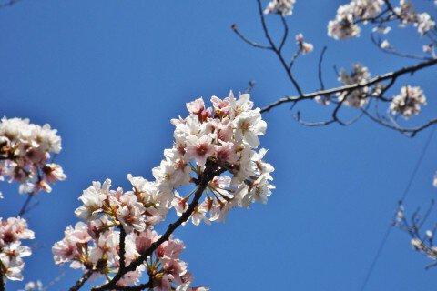 宇土の桜名所・お花見写真