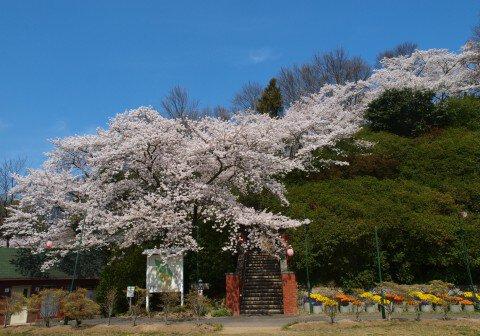 【桜・見頃】岡山市半田山植物園の桜名所・お花見写真