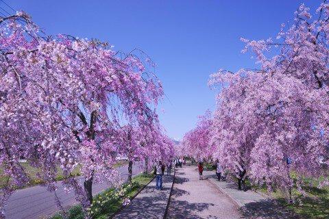 【桜・見頃】日中線記念自転車歩行者道のしだれ桜