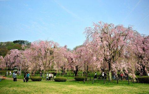 【桜・見頃】米内浄水場の桜名所・お花見写真