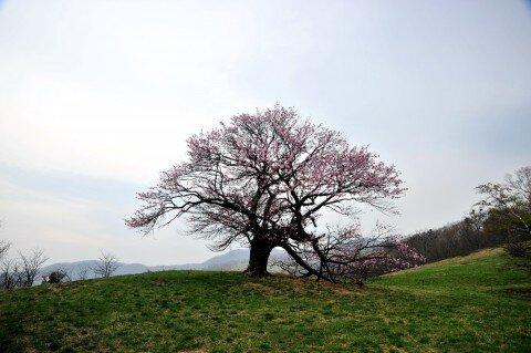 亀ヶ森の桜名所・お花見写真