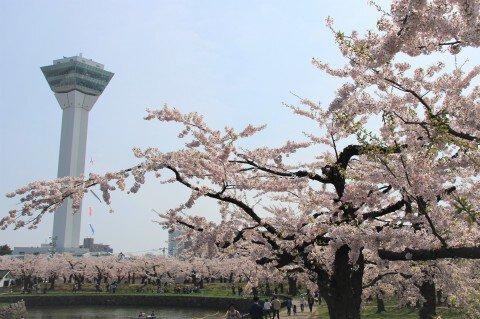 【桜・見頃】五稜郭公園の桜名所写真