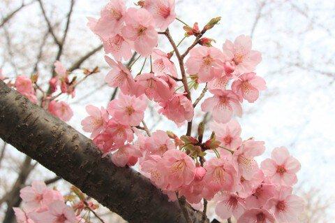 【桜・見頃】国営昭和記念公園