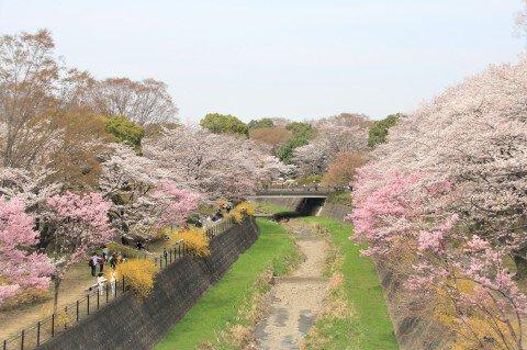 【桜・見頃】国営昭和記念公園の桜名所・お花見写真