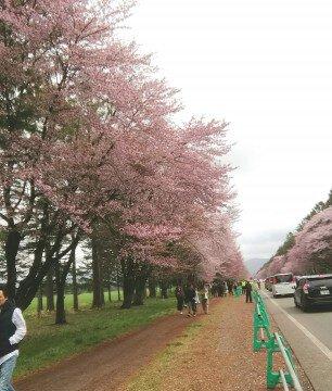 【桜・見頃】二十間道路桜並木