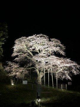 室蘭市幌萌町の大山桜