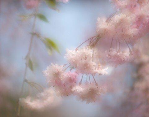 【桜・見頃】米内浄水場