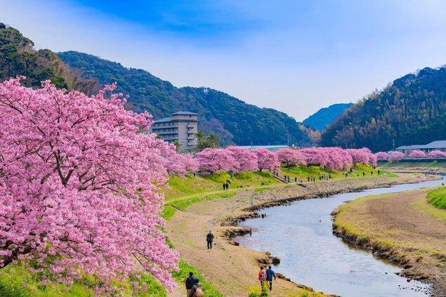 下賀茂温泉の桜