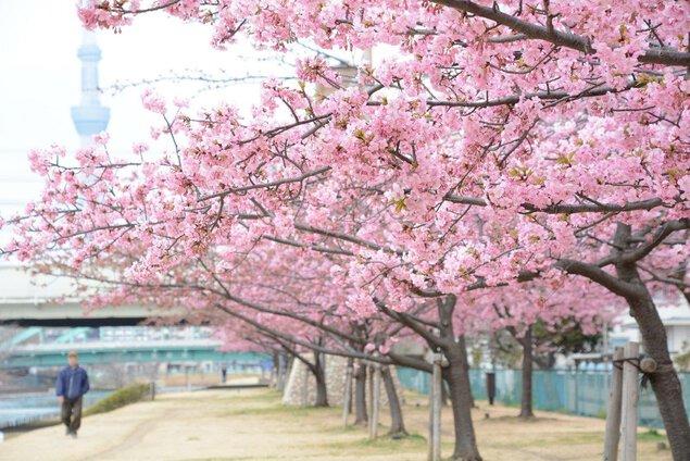 旧中川の桜