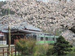 弥彦公園(早咲き)の桜