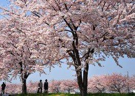 金目川桜並木の桜