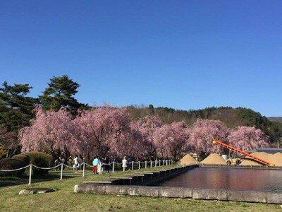 【2020年花見不可・特別開放中止】米内浄水場の桜