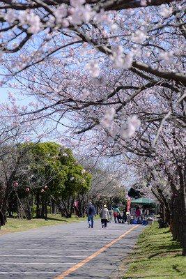 神之池緑地公園の桜
