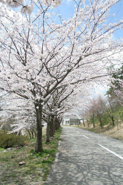 【桜・見ごろ】白虎山公園
