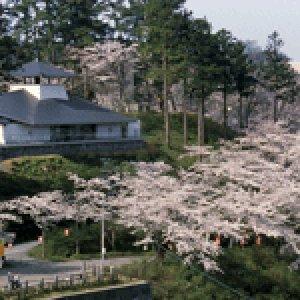 【桜・見ごろ】本荘公園