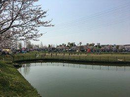 石川河川公園(駒ヶ谷地区)の桜