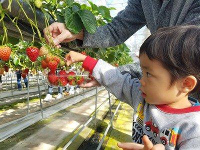 高設栽培で楽々収穫。大粒のいちごを摘み取ろう