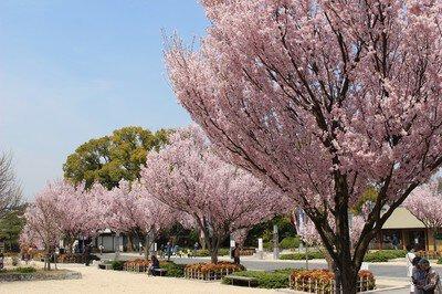 徳川園の桜
