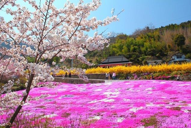 広棚 芝桜祭り