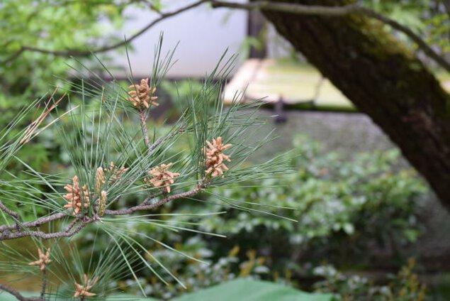 庭師と学ぶフォスタリング・スタディーズ4 「第1回マツの芽摘み」<中止となりました>