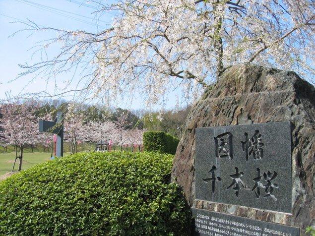 【桜・見ごろ】因幡千本桜「桜の園」