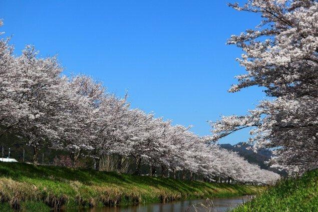 【桜・見ごろ】鳥羽川サイクリングロードの桜並木