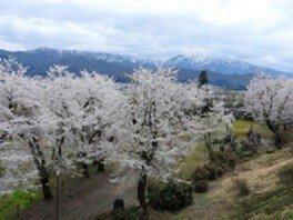 小出公園の桜