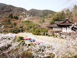 大河内山荘庭園の桜