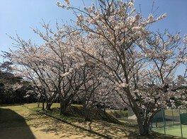 南房総市千倉総合運動公園の桜