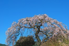 西山興隆寺の桜