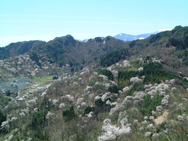【桜・見ごろ】桜仙峡