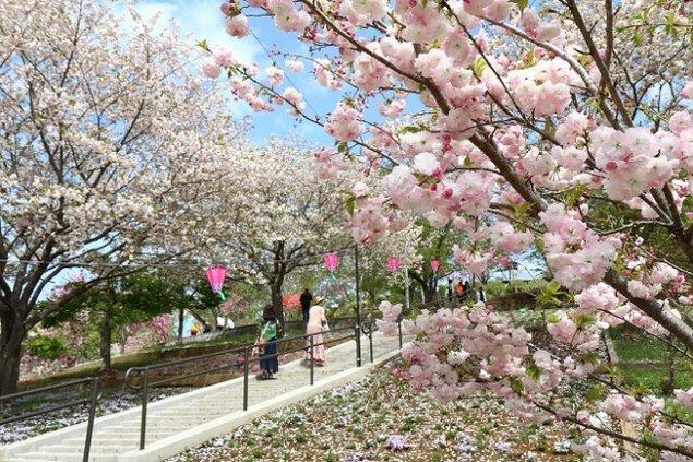 静峰ふるさと公園 八重桜まつり<中止となりました>