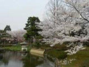 【桜・見ごろ】芦城公園