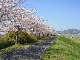 富田林・石川堤防の桜