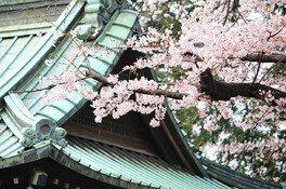 狭山八幡神社の桜