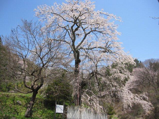 【桜・見ごろ】成就院来鳳枝垂桜