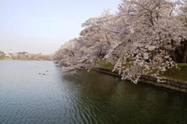 【桜・見ごろ】五百淵公園